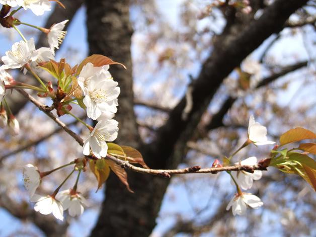 桜満開!_b0089338_2246048.jpg