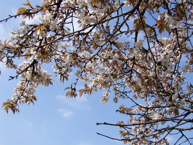 桜満開!_b0089338_2246555.jpg