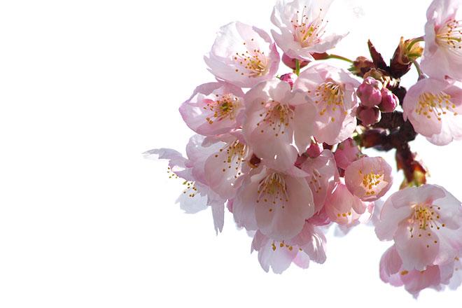開花宣言_c0067040_23275733.jpg