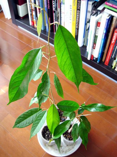 ドリアンの苗, durian seedlings