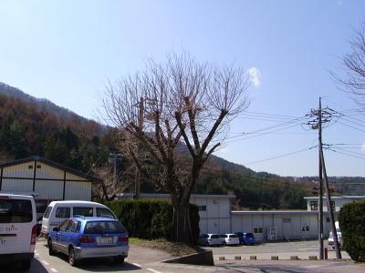 桜情報_c0193896_1142971.jpg