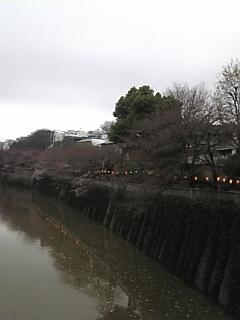 キング桜_a0114206_17191655.jpg