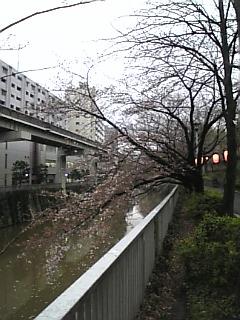 キング桜_a0114206_17191681.jpg