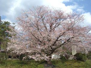 養源院の桜その2_e0153039_21102253.jpg
