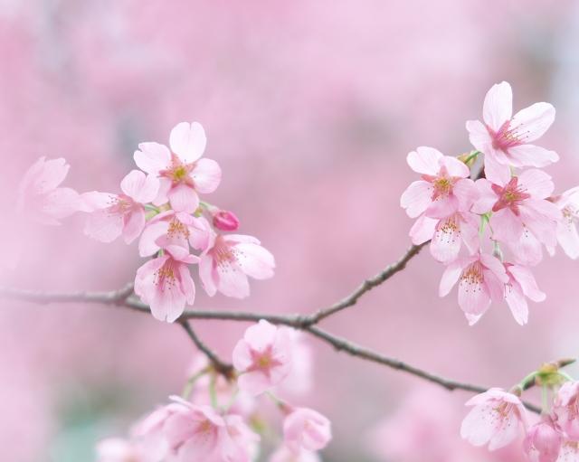 寒緋桜_f0018464_826392.jpg