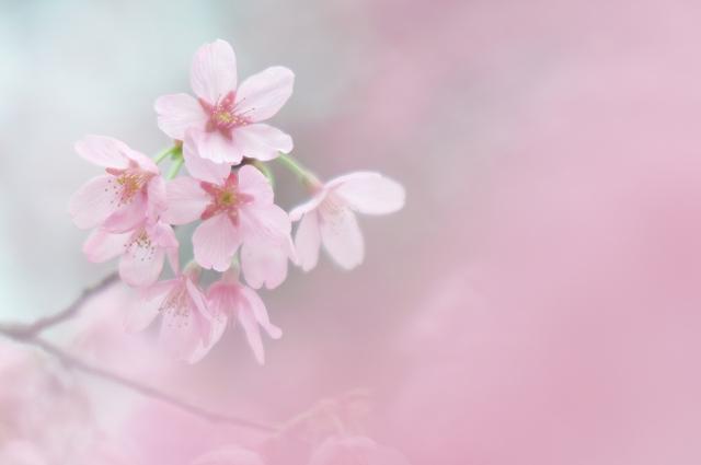 寒緋桜_f0018464_8271427.jpg