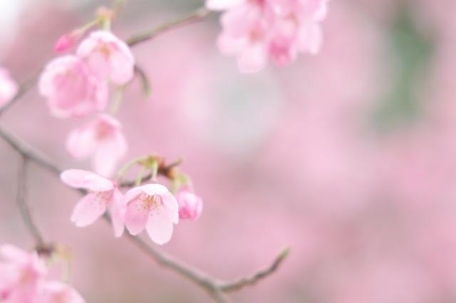 寒緋桜_f0018464_827189.jpg