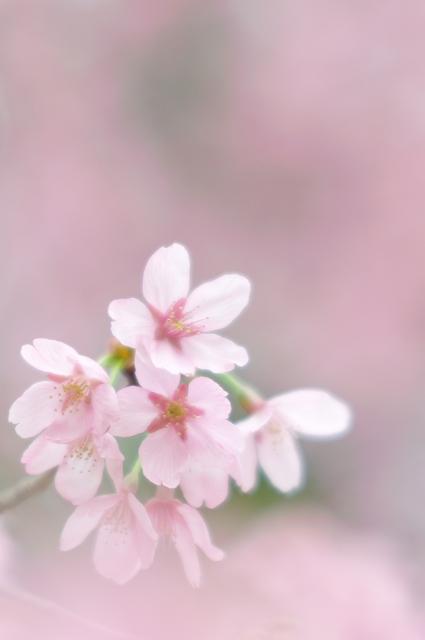 寒緋桜_f0018464_827333.jpg