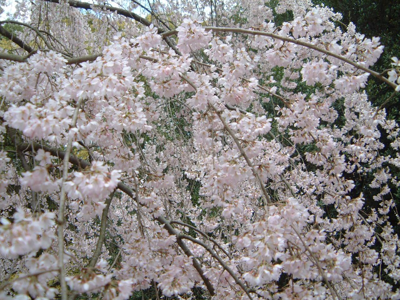 御所のしだれ桜♪_f0028791_19552230.jpg