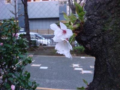 桜の通り道_b0151300_1818384.jpg