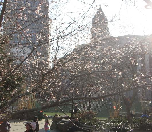 街角で見かけた初桜_b0007805_20531216.jpg