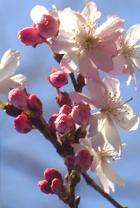 街角で見かけた初桜_b0007805_20532948.jpg