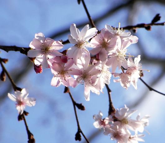 街角で見かけた初桜_b0007805_20543397.jpg