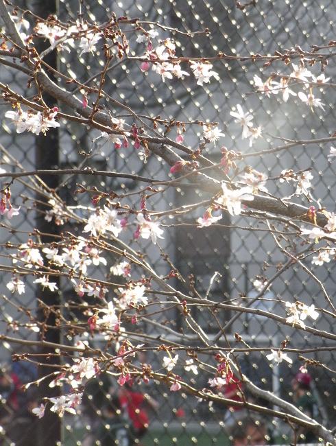 街角で見かけた初桜_b0007805_20554517.jpg