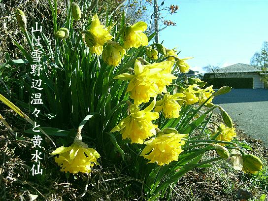 黄水仙_e0099713_197655.jpg