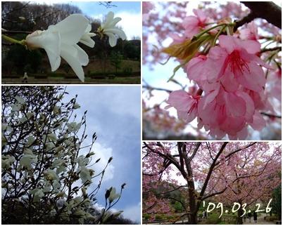 ニオイコブシと河津桜