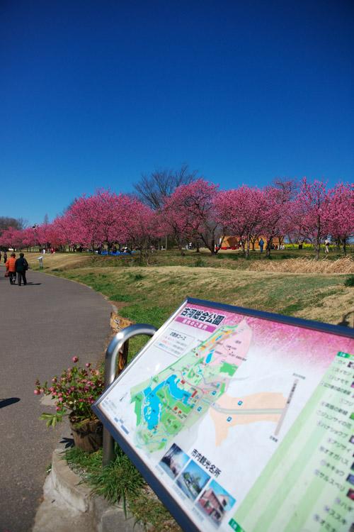 古河総合公園の桃の花_a0003746_18262020.jpg