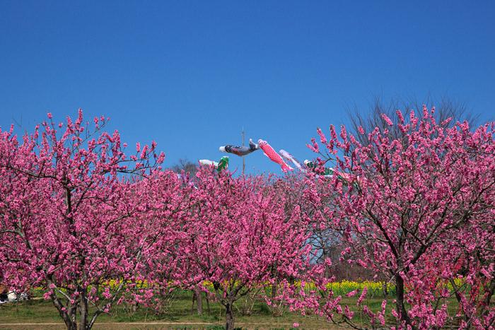 古河総合公園の桃の花_a0003746_18264268.jpg