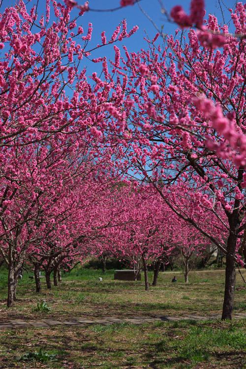 古河総合公園の桃の花_a0003746_1827062.jpg