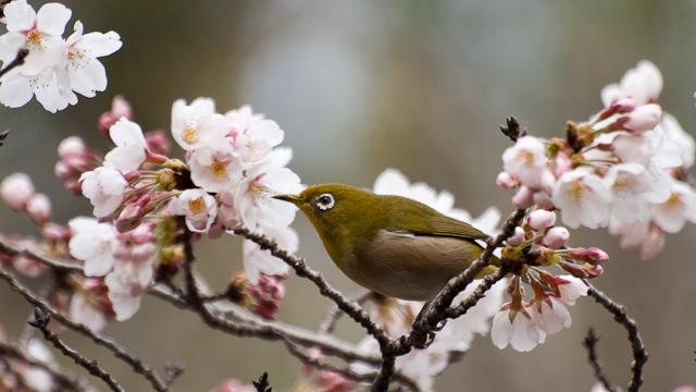 桜ヶ丘公園 メジロ_d0146592_22492461.jpg