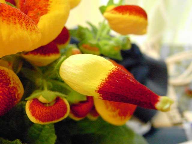 珍花カルセオラリア「奇形花」_b0054727_023618.jpg
