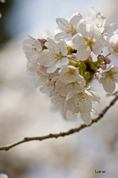 桜花_c0165046_1154873.jpg