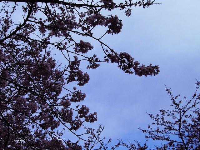 桜前線_f0135451_024385.jpg