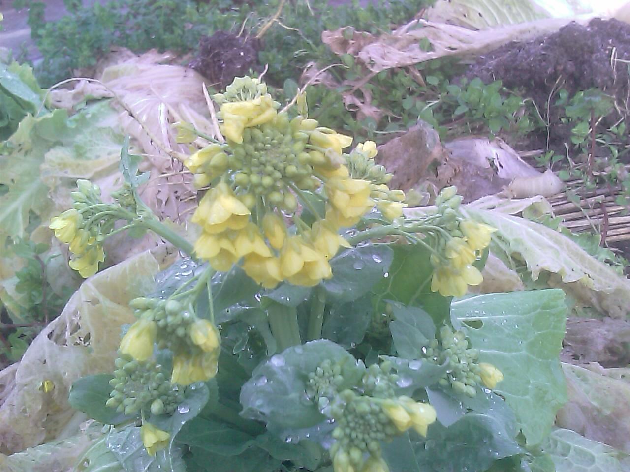 白菜の花_f0192307_1249304.jpg