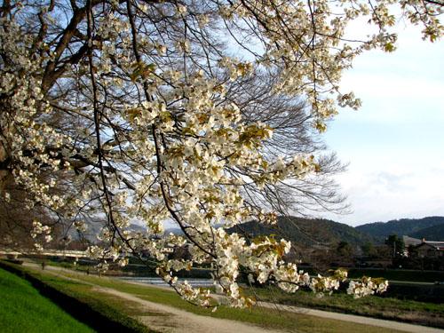 鴨川に春が_e0048413_2331826.jpg