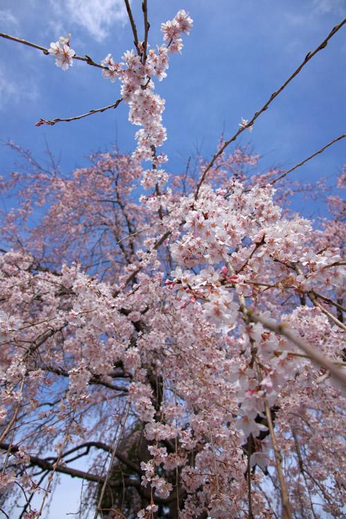 しだれ桜_a0003746_16381098.jpg