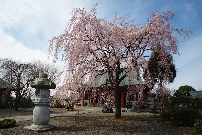 しだれ桜_a0003746_16383014.jpg
