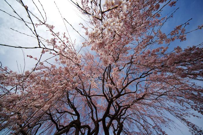しだれ桜_a0003746_16384651.jpg