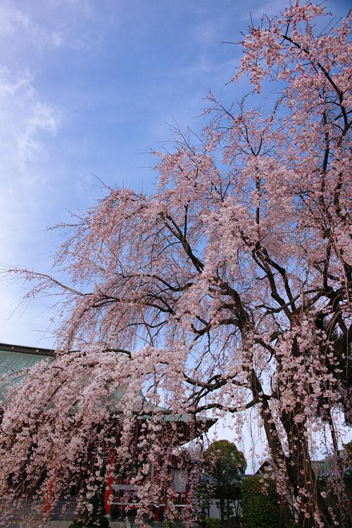 しだれ桜_a0003746_16385826.jpg