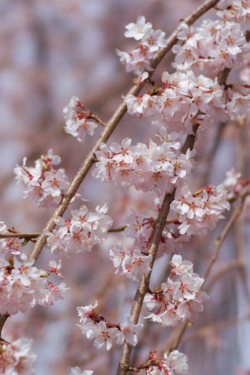 しだれ桜_a0003746_16391648.jpg