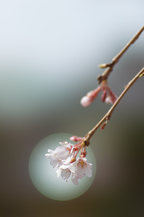 しだれ桜_a0003746_16392521.jpg