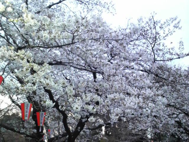 桜~_e0114246_20201099.jpg