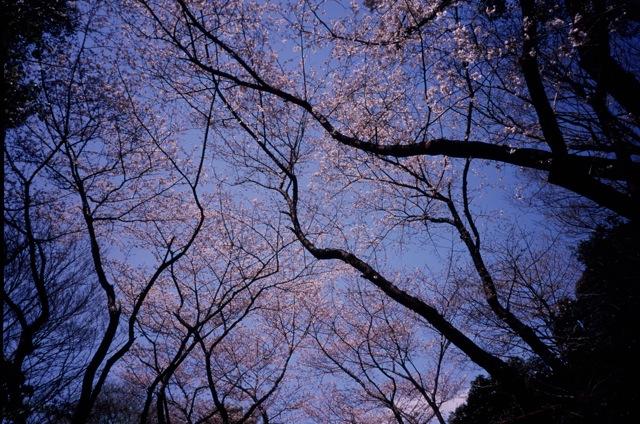 一昨年桜_f0135451_1201617.jpg
