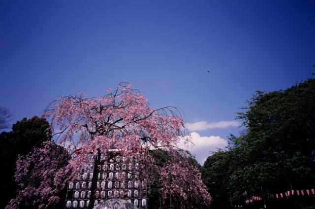 一昨年桜_f0135451_121279.jpg