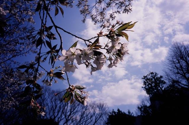 一昨年桜_f0135451_1215617.jpg