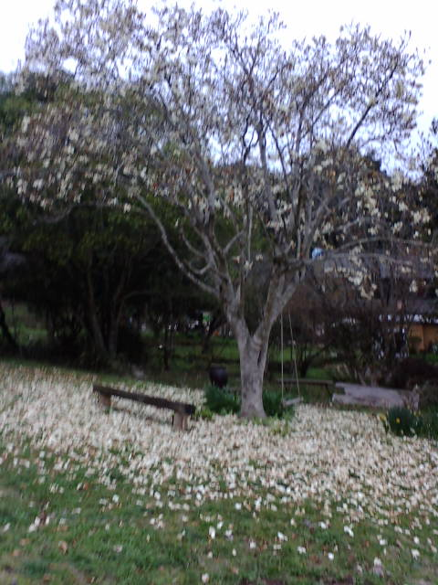咲いたら散るね。_e0007456_9554585.jpg