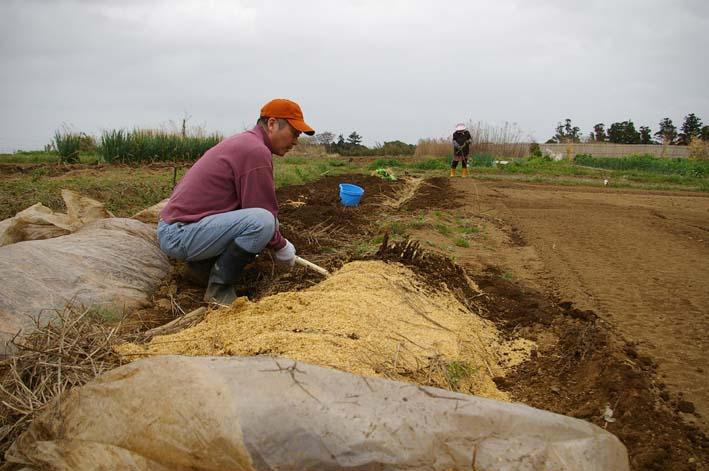無事に越冬、実家の畑のサトイモ、連作障害をクリア:3・22_c0014967_23191496.jpg
