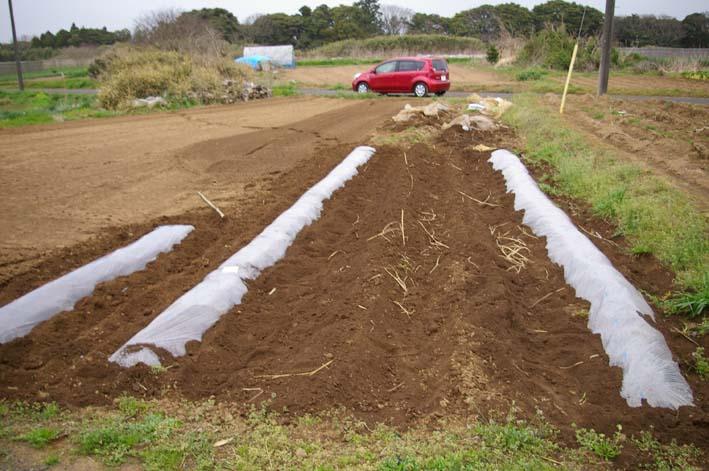 無事に越冬、実家の畑のサトイモ、連作障害をクリア:3・22_c0014967_23203934.jpg