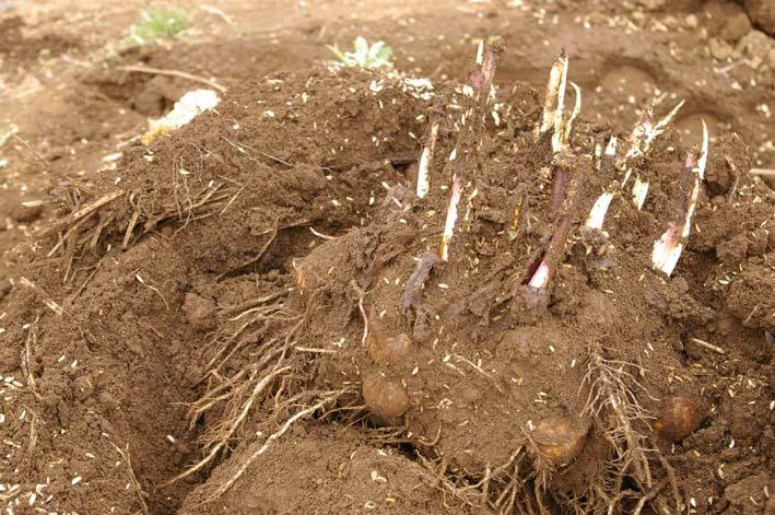 無事に越冬、実家の畑のサトイモ、連作障害をクリア:3・22_c0014967_23215070.jpg