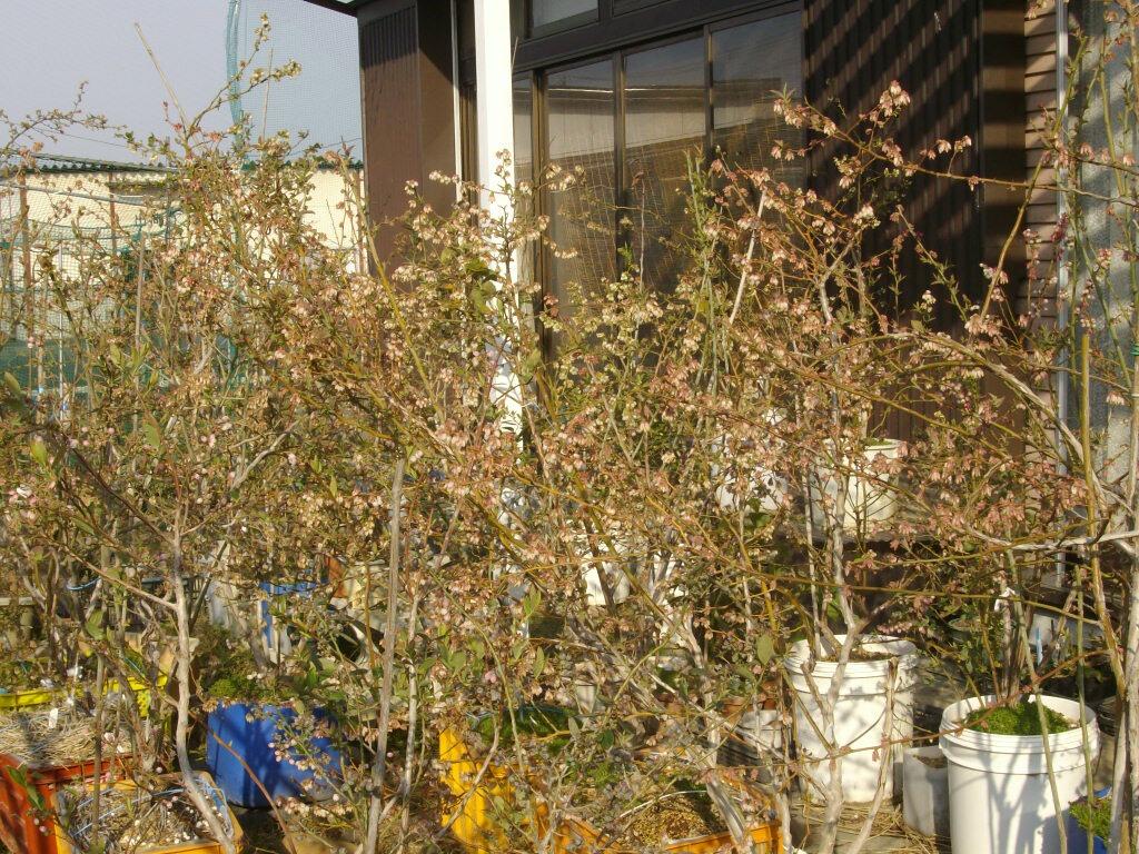 ブルーベリーの開花状況_f0018078_1584775.jpg