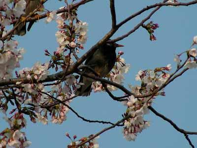 京都の桜は?_d0136282_8574680.jpg