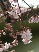 桜が咲き始めました(^-^)_b0103889_5412961.jpg