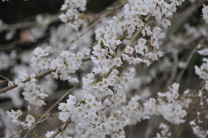奥山田(岡崎)の枝垂れ桜_b0142989_21103975.jpg