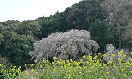 奥山田(岡崎)の枝垂れ桜_b0142989_2122446.jpg