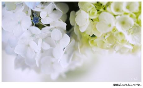 花だけじゃなくガクも美しい。そんな人間になりたいな。