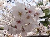 江戸の歳時記  花見_c0187004_16421298.jpg